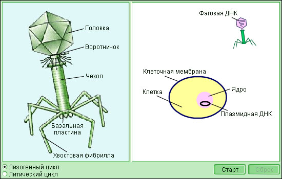 Модель 1.1. Бактериофаги